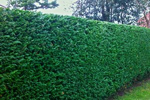 cedar hedge in ajax after it's been trimmed