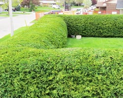 bowmanville hedge trimming services