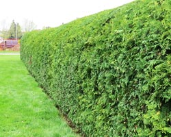 courtice township hedge after it's been pruned and trimmed