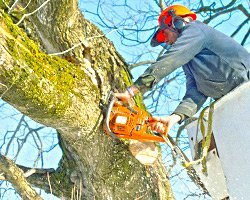 arborist cutting a branch from a large tree