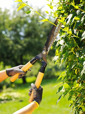 homeowner holding hedge trimming shears and clipping the edge of a tall hedge