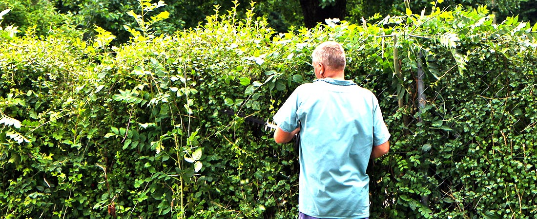 homeowner trimming his hedges before finding out how much hedge trimming costs