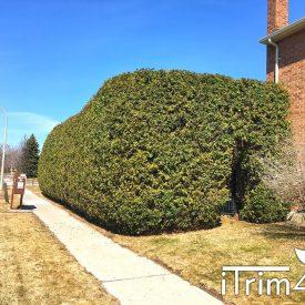 large hedges trimmed by itrim4u